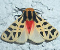 orange bodied moth with yellow and black wings - Notarctia proxima