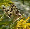 Heliothinae? - Schinia albafascia