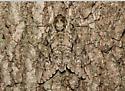 Waved Sphinx, released - Ceratomia undulosa