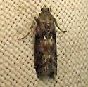Lucerne Moth? - Sciota virgatella