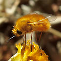 long-legged orange bee-fly - Lordotus