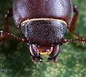 Coleoptera - Tenebroides laticollis
