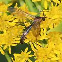 Large Mycetophilidae - Asindulum