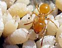 Citronella Ant - Lasius