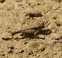 Small Grasshopper - Tetrix arenosa - female