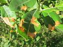Salix miner - Lyonetia