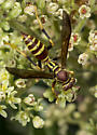 Wasp in Golden Rod  - Polistes exclamans