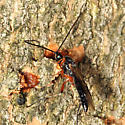 Braconid - Earinus limitaris - male