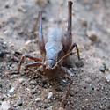 katydid - Atlanticus monticola - female