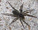 Fishing Spiders (Dolomedes) sp? - Tigrosa georgicola