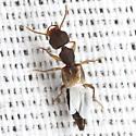 Ant-like Rove Beetle - Rugilus