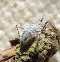 Fuzzy gray bug - Hemiptera?