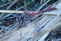 unknown dragonfly - Sympetrum pallipes