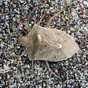 Stink Bug Euchistus sp. - Euschistus variolarius