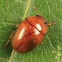 beetle found in mushroom gills - Pallodes pallidus