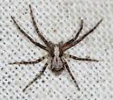 running crab spider - Philodromus josemitensis