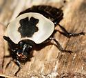 Necrophila americana - American Carrion Beetle - Necrophila americana