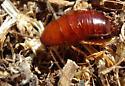 Cockaroach ? - Parcoblatta americana