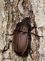 Ground Beetle off the ground - Chlaenius tomentosus