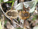 Bombyliid Pair - Bombylius - male - female