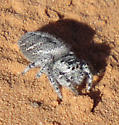 Fuzzy Grey Spider - Phidippus asotus