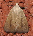 Unknown moth - Gabara subnivosella
