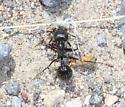 Inyo County Ant - female