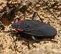 Red-shouldered Bug (Jadera haematoloma)  - Jadera haematoloma