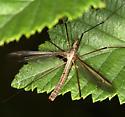 crane fly - Tipula oleracea - male