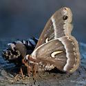 Hyalophora sp.  - Hyalophora euryalus