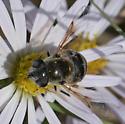 flower fly – Eristalis stipator? - Eristalis stipator - female