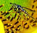 Spilomyia foxleei (?) or interrupta - Spilomyia interrupta