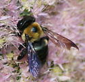 Which Bee or Fly? - Xylocopa virginica