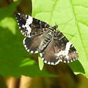 Small black-and-white moth - Rheumaptera