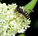 bee or mimic - Dolichovespula norvegicoides