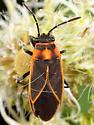 Bug ID - Ochrimnus lineoloides