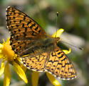 Purplish Fritillary? - Boloria chariclea - male