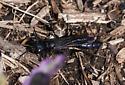 Large purple-black wasp - Sphex pensylvanicus
