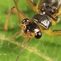 Stonefly - Perlesta nitida - male