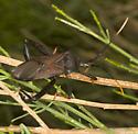 Giant Agave Bug on Baccharis - Acanthocephala thomasi - male