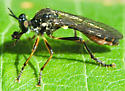 Fly eats small fly - Dioctria hyalipennis
