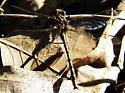 Oklahoma Clubtail - Phanogomphus oklahomensis - male