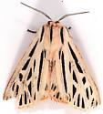 Moth to blacklight - Apantesis arge - male