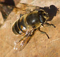 Yellow and black fly - Eristalis tenax - female