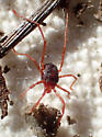 Red mite with long fourth legs