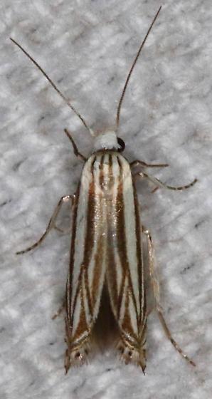 Polyhymno luteostrigella - Hodges#2211 - Polyhymno luteostrigella