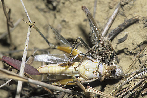 Robber Fly with Prey - Scleropogon picticornis - male