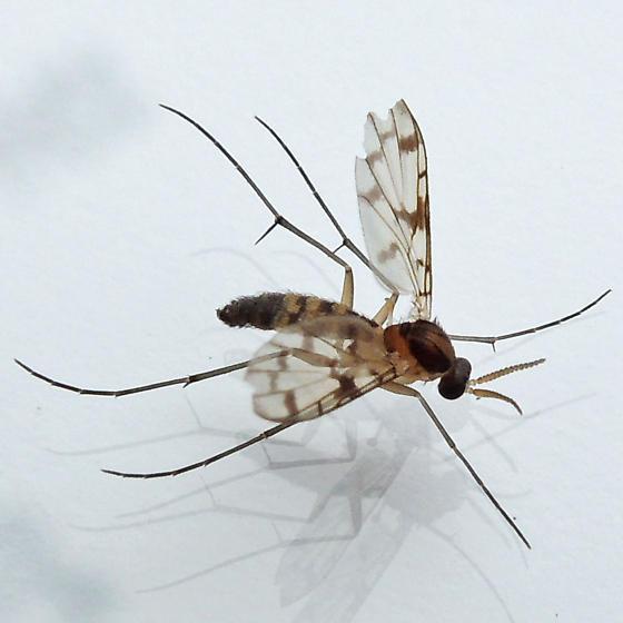 predatory fungus gnat - Proceroplatus