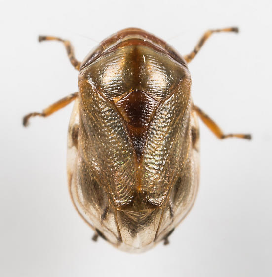 Spittlebug - Clastoptera xanthocephala