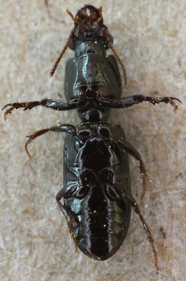Clivina dentipes ? - Clivina dentipes